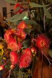 Wildflower indigeno australiano - Banksia Fotografie Stock Libere da Diritti