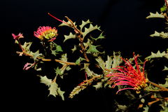 Wildflower indigeno australiano - Grevillia Immagine Stock