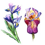 Wildflower iris flower in a watercolor style isolated. Royalty Free Stock Image