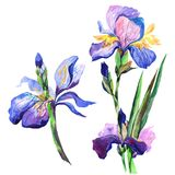 Wildflower iris flower in a watercolor style isolated. Stock Images