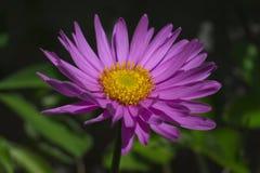Wildflower Italien daisy stock photo