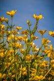 Wildflower jaskiery Zdjęcia Royalty Free
