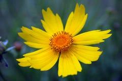 Wildflower jaune Photo stock
