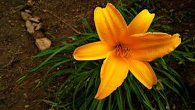 Wildflower jaune au Sri Lanka photo stock