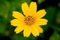 Wildflower jaune en vert Image libre de droits
