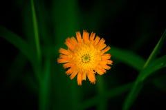 Wildflower jaune-orange dans Maine Photographie stock libre de droits