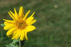 Wildflower jaune simple de Goldenaster Photographie stock