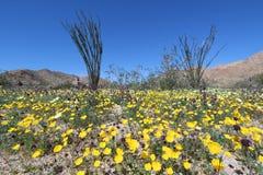 Wildflower in Joshua Tree National Park royalty free stock photo