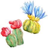 Wildflower kaktus w akwarela stylu odizolowywającym Obraz Royalty Free