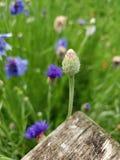 Wildflower klaar te bloeien stock afbeeldingen
