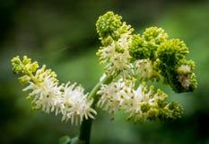 Wildflower knospt Öffnung Lizenzfreies Stockfoto