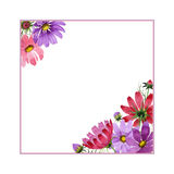 Wildflower kosmeya flower frame in a watercolor style isolated. Full name of the plant: kosmeya. Aquarelle wild flower for background, texture, wrapper pattern royalty free stock photo