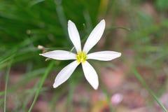 Wildflower - lírio do zéfiro Imagem de Stock Royalty Free