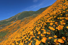 Wildflower in Lake Elsinore. California Golden Poppy blooming in Walker Canyon, Lake Elsinore, CA royalty free stock photo