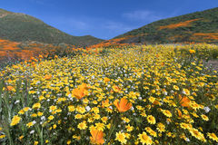 Wildflower in Lake Elsinore. California Golden Poppy and Goldfields blooming in Walker Canyon, Lake Elsinore, CA stock image