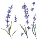 Wildflower lavander flower in a watercolor style isolated. Full name of the plant: lavander. Aquarelle wild flower for background, texture, wrapper pattern Stock Image