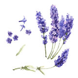 Wildflower lavender flower in a watercolor style isolated.