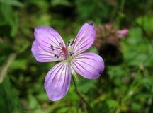 Wildflower lilas. Géranium de régfion boisée Image libre de droits