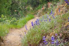 Wildflower lined trail on a rainy spring day, Castle Rock State Park, San Francisco bay area, California royalty free stock photography