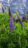 Wildflower: Lupinus, lupin, lupine field with pink purple and blue flowers with european alps as a background Royalty Free Stock Photos