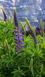 Wildflower: Lupinus, Lupine, Lupinefeld mit rosa purpurroten und blauen Blumen mit europäischen Alpen als Hintergrund Lizenzfreie Stockfotos