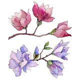 Wildflower magnolia flower in a watercolor style isolated. Full name of the plant: magnolia. Aquarelle wild flower for background, texture, wrapper pattern Stock Photos