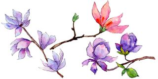 Wildflower magnolia flower in a watercolor style isolated. Full name of the plant: magnolia. Aquarelle wild flower for background, texture, wrapper pattern Royalty Free Stock Photos