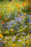 Wildflower meadow. Each year, the sunburnt and barren semi-desert Namaqualand landscape of open plains and harsh granite outcrops bursts into a kaleidoscope of Stock Image