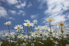 Wildflower Meadow. Flowering plants against blue sky in summer meadow royalty free stock image
