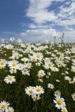 Wildflower Meadow. Flowering plants against blue sky in summer meadow stock photography