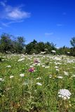 Wildflower Meadow. This image shows a meadow from wildflower royalty free stock images
