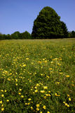 Wildflower meadow. A single tree dominates a wildflower meadow scene in Buckinghamshire, England. Buttercups to foreground Stock Photography