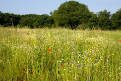 Wildflower Meadow Royalty Free Stock Photos