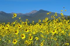 Wildflower meadow backed by mountains. Sunflowers (Helianthus) in Sunset Crater Park Stock Image