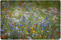 Wildflower meadow background Royalty Free Stock Photo