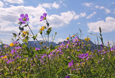 Wildflower meadow in the bavarian alps Stock Photo