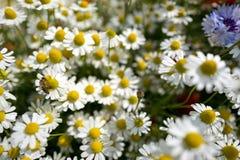 Wildflower meadow Stock Image