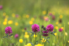 Wildflower Meadow Clover. Wildflowers growing in natural meadow, red clover with buttercups in blurred background. Copy space Royalty Free Stock Image