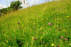 Wildflower meadow in the Cotswold, Gloucestershire Royalty Free Stock Photo