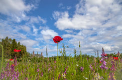 Wildflower meadow in the countryside. Wildflower meadow and blue sky in the countryside Stock Image