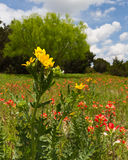 Wildflower meadow. Field with wildflowers in the spring in central Texas royalty free stock photography
