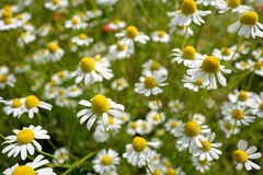 Wildflower meadow Royalty Free Stock Images