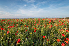 Wildflower Meadow by the Sea Royalty Free Stock Photo