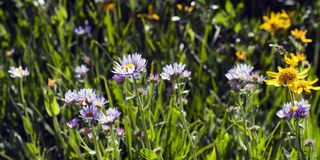 Wildflower Meadow in spring Royalty Free Stock Images