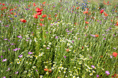 Wildflower meadow Stock Images