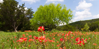 Wildflower meadow. Texas wildflower meadow with a mass of Indian paintbrush in full bloom Stock Photo