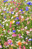 Wildflower meadow with various flowers Stock Photography