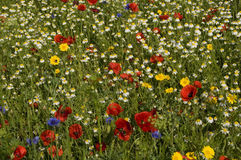 Wildflower meadow. View of dandelions, poppies, daisies and cornflowers in wild flower meadow, Richmond, London Stock Images