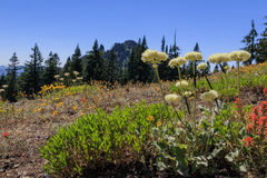 Wildflower meadow. Wildflowers growing on the Cone Peak Trail in the Oregon Cascades with Iron Mountain in the background Royalty Free Stock Images