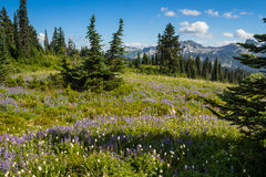 Wildflower Meadows and Tatoosh Range Royalty Free Stock Photography